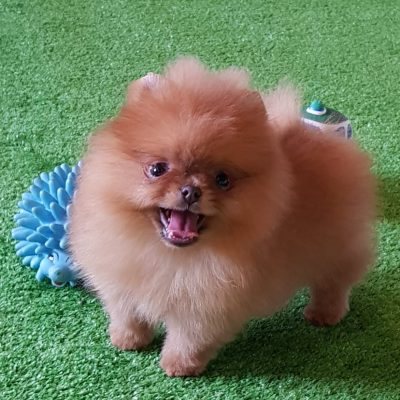 MC Poms Pomsky Home